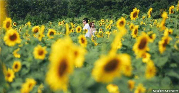 Ảnh cưới đẹp giữa mùa hoa hướng dương vàng rực rỡ ở Đà Lạt (2) tại Cưới hỏi trọn gói 365